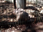 Wombat, Featherdale Wildlife Park
