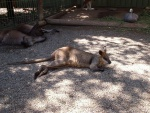 Wallaby, Featherdale Wildlife Park