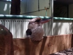 Chill bird, Featherdale Wildlife Park