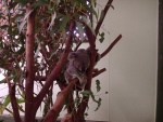 Koala, Featherdale Wildlife Park