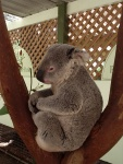 Cute Koala, Featherdale Wildlife Park