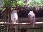 Big Eyed Owls, Featherdale Wildlife Park