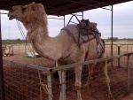 Camel at the camel farm